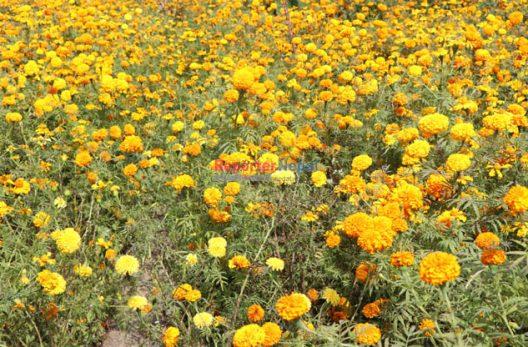 ढकमक्क फूल